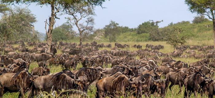 Wielka migracja zwierząt